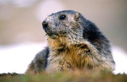 Una marmotta nei pressi del rifugio Vittorio Sella